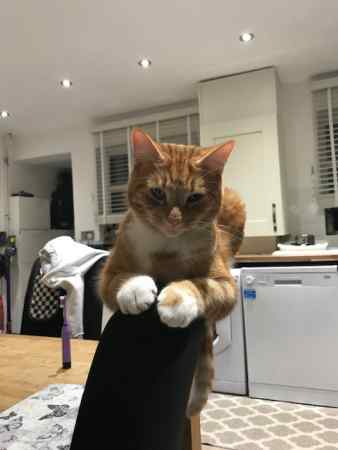 Missing Moggy Cat in YATELEY