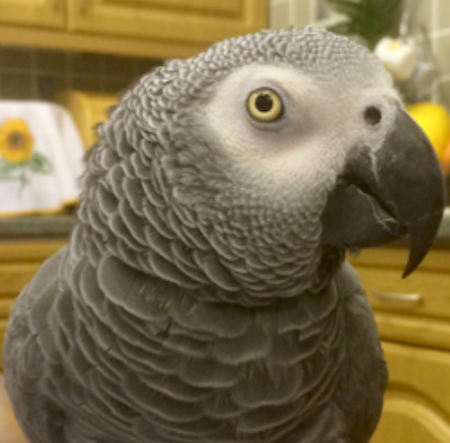 Missing Parrot, Parakeet Birds in Holmfirth