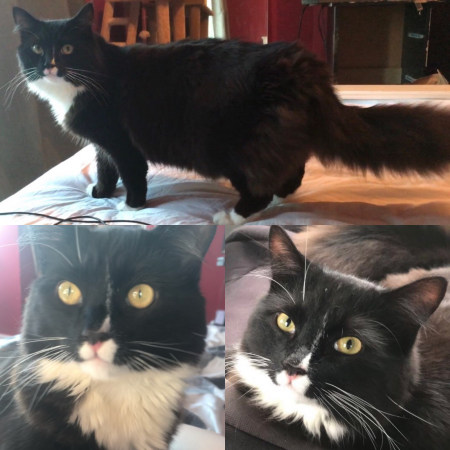 Missing Domestic Short Hair Cats in Hull