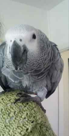 Missing Parrot, Parakeet Birds in Great Thurlow, Haverhill