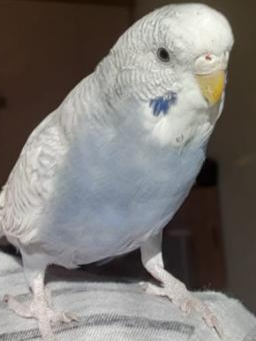 Missing Budgie Birds in MARKET RASEN