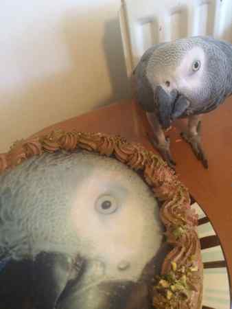 Missing Parrot, Parakeet Birds in Newport