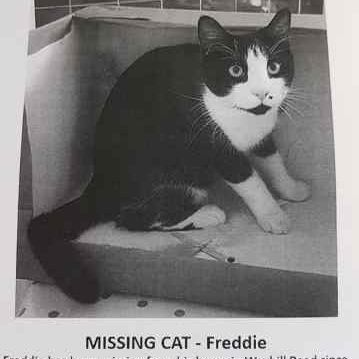 Missing Domestic Short Hair Cats in Andover