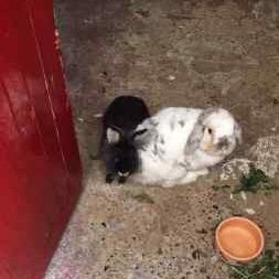 Missing Lop Eared Rabbits in Croydon