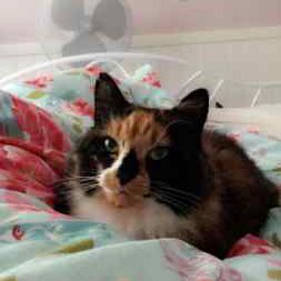 Missing Tortoiseshell Cats in Biggleswade