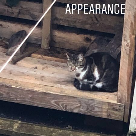 Missing Tabby Cats in Harrogate