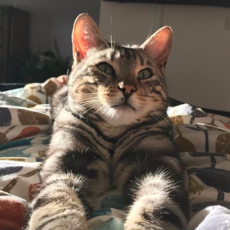 Missing Bengal Cats in Scarborough