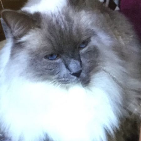 Missing Ragdoll Cats in Worcester