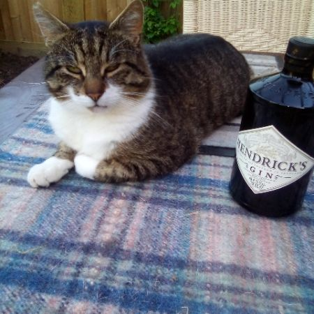 Missing Domestic Short Hair Cats in Saltney Ferry