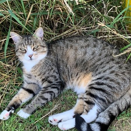 Missing Domestic Short Hair Cats in Benfleet