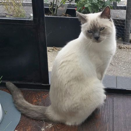 Missing Siamese Cats in London