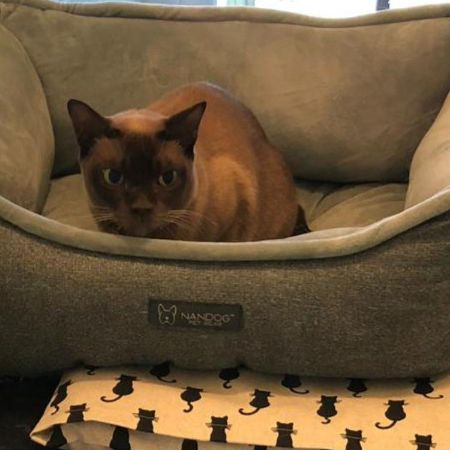 Missing Burmese Cats in Wheathampstead