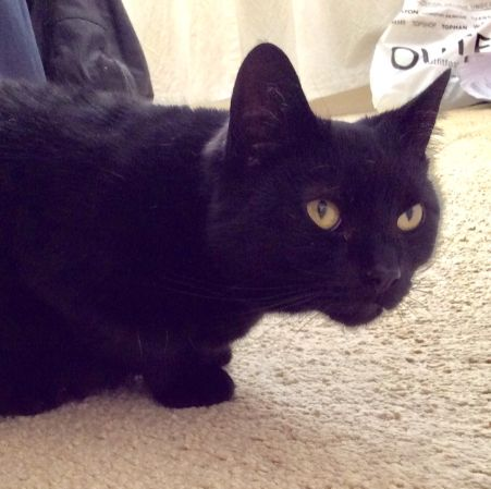 Missing Domestic Short Hair Cats in Leigh-on-Sea