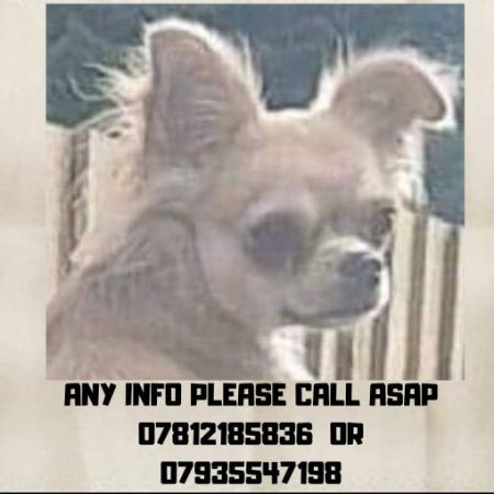 Missing Chihuahua Dogs in Bradford