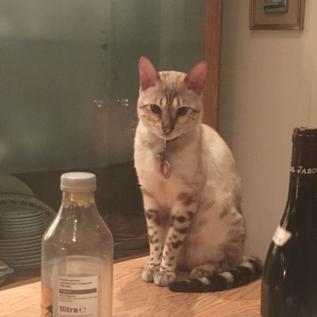 Missing Bengal Cats in London