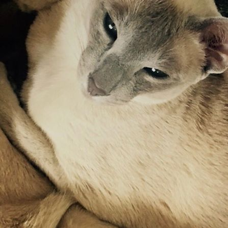 Missing Tonkinese Cats in Bolney