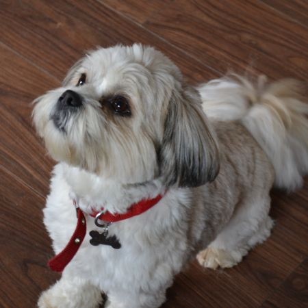 Missing Lhasa Apso Dogs in Wishaw