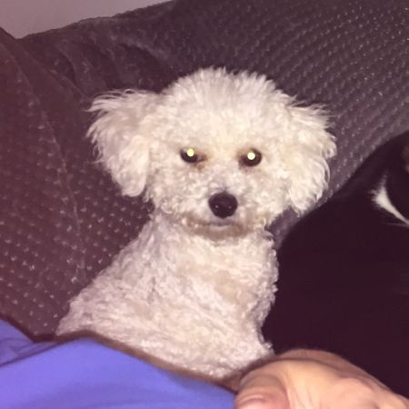 Missing Bichon Frise Dogs in Edinburgh
