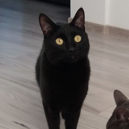 Missing Domestic Short Hair Cats in Rugby