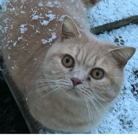 Missing British Short Hair Cats in Newton Abbot, Buckland