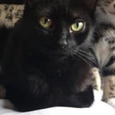 Missing Domestic Short Hair Cats in Bracknell