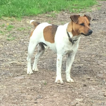 Missing Jack Russell Dogs in Tiverton