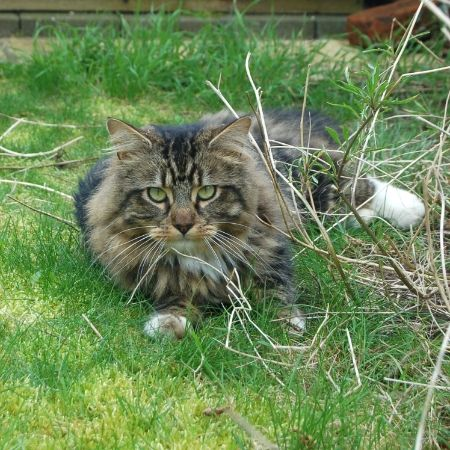 Missing Tabby Cats in Cookham