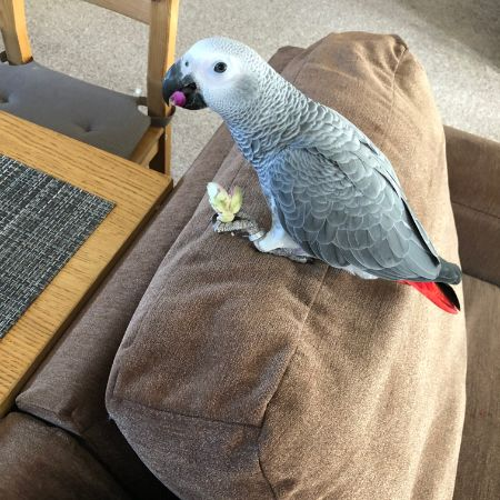 Missing Parrot, Parakeet Birds in Dunstable