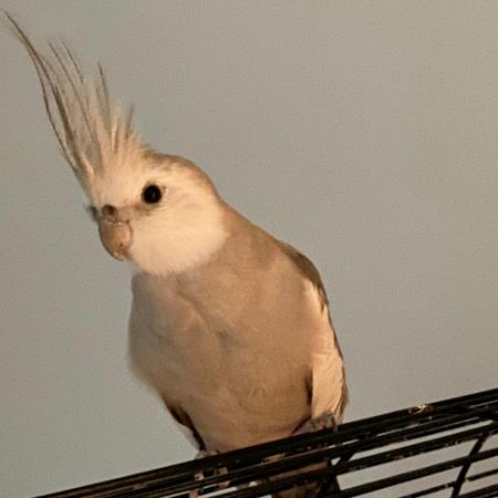 Missing Cockatiel Birds in Abbey Wood