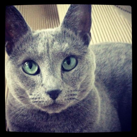 Missing Russian Blue Cats in London