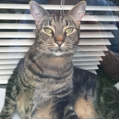 Missing Tabby Cats in Lower Morden