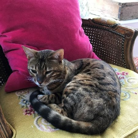 Missing Bengal Cats in BEAMINSTER