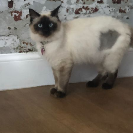 Missing Ragdoll Cats in Shirley, Solihull
