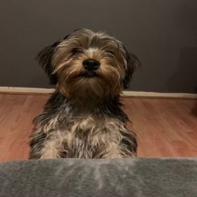 Missing Terrier Dogs in East Acton