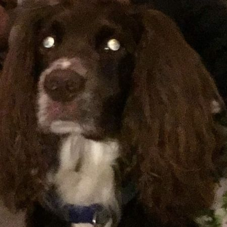 Missing Spaniel Dogs in Southampton