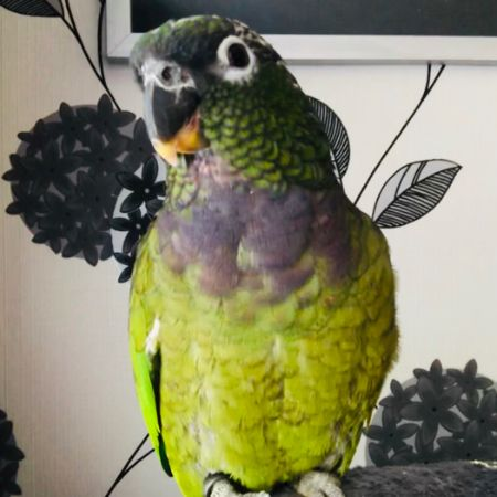 Missing Parrot, Parakeet Birds in Atherton