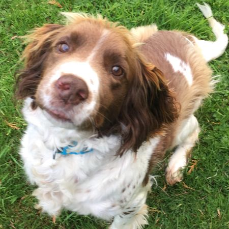 Missing Spaniel Dogs in Haverfordwest