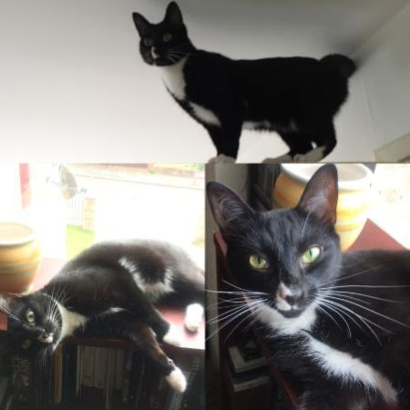 Missing Domestic Short Hair Cats in Eltham