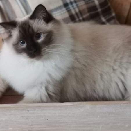 Missing Ragdoll Cats in BEVERLEY