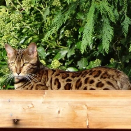 Missing Bengal Cats in Harpenden