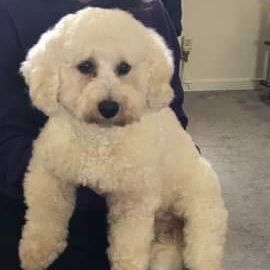 Missing Bichon Frise Dogs in Chadsmoor