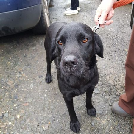 Missing Labrador Dogs in Widemouth Bay