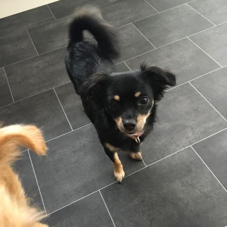 Missing Chihuahua Dogs in Canterbury