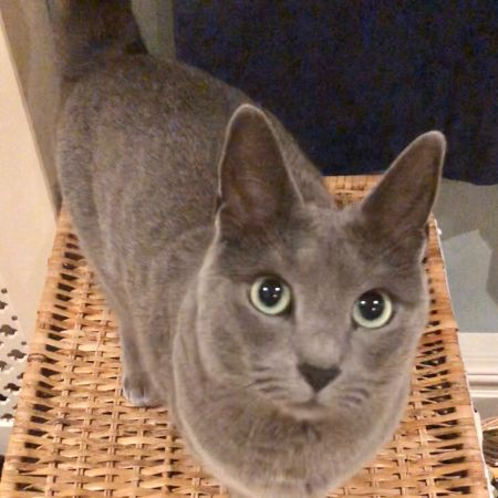 Missing Russian Blue Cats in Colchester