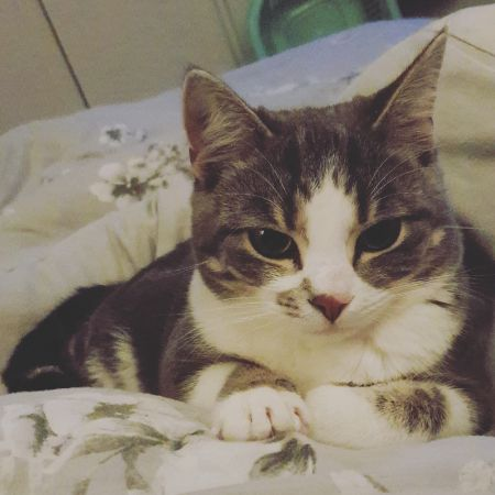 Missing Domestic Short Hair Cats in Ellesmere Port