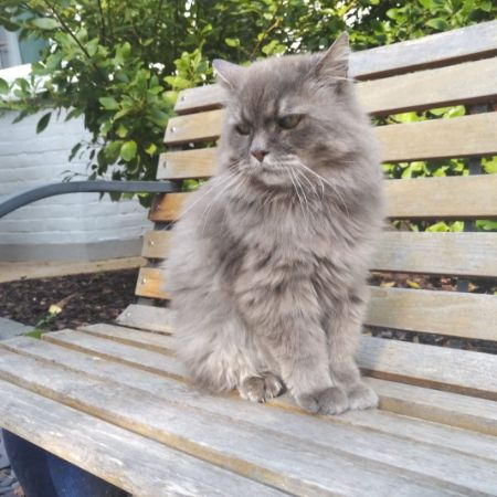 Missing Persian Cats in Morden