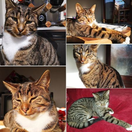 Missing Domestic Short Hair Cats in Penybanc, Llandeilo
