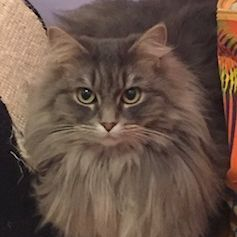 Missing Maine Coon Cats in Chessington