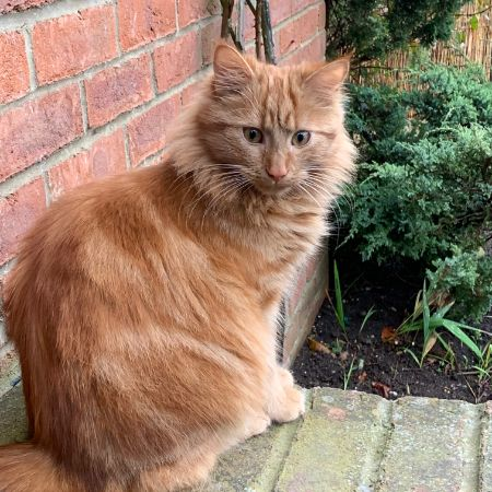 Missing Semi-Long Hair Cats in Takeley