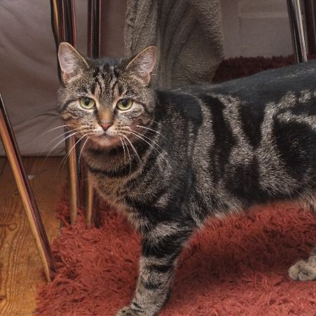 Missing Tabby Cats in Basingstoke